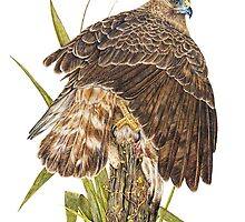 Australasian Harrier Hawk  2011 by Peter Shearer