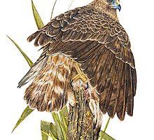 Australasian Harrier Hawk  2011 by Peter Shearer