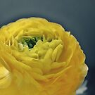 Yellow Ranunculus by Astrid Ewing Photography