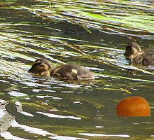 Ducks Playing Hunt The Orange by Foxygeezer