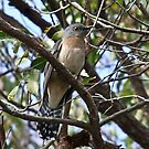 Fan-Tailed Cuckoo by Rick Playle