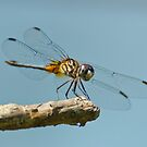 Blue Dasher on a Sunny Day by Steve Borichevsky