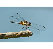 Blue Dasher on a Sunny Day Photographic Print