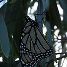 A Monarch Butterfly roosts amongst gum leaves - Marino Conservation Park, South Australia by Dan & Emma Monceaux