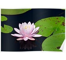 Pink Water Lily on the Ipswich River Poster