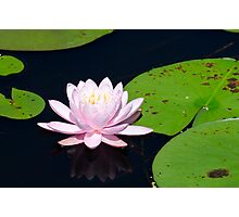 Pink Water Lily on the Ipswich River Photographic Print