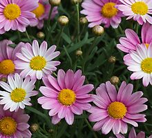 pink daisy by spetenfia