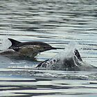 Common Dolphin by Penny Lees