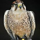 peregrine falcon by Dale Batchelor