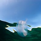 Jellyfish, Berry Islands, Bahamas by Shane Pinder