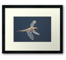 Four Spotted Chaser in flight Framed Print