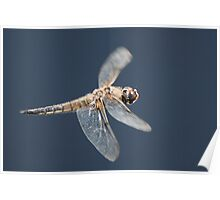 Four Spotted Chaser in flight Poster
