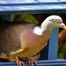 wood pigeon profile by Steve