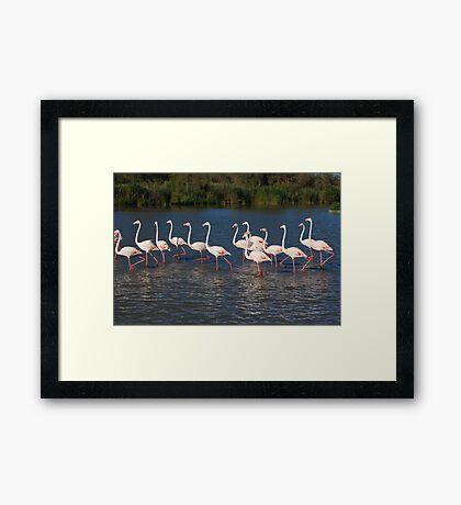 Marching flamingos Framed Print