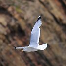 Seagull in flight by CjbPhotography