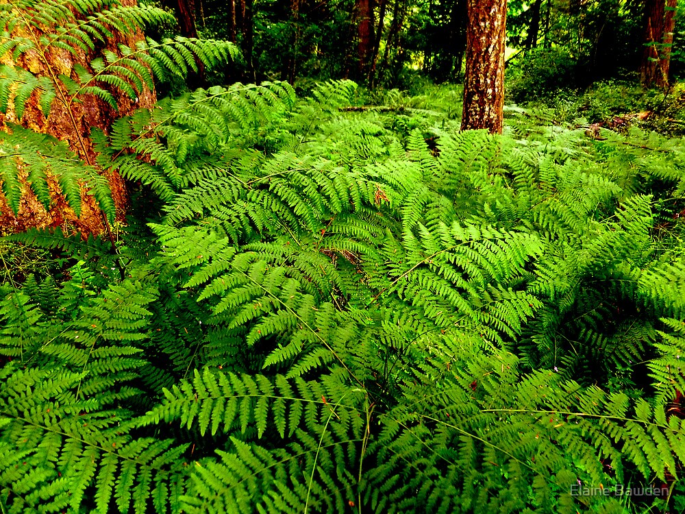 A Forest of Ferns by Elaine Bawden
