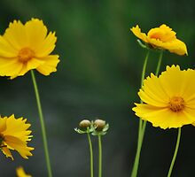 Sunshine on my petals by Tracey Hampton