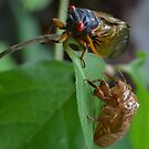 Cicada  by Paula Betz