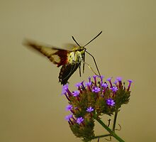 Hummingbird Moth by Berk Nash