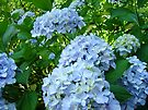 Hydrangeas Flowers art prints Garden Botanical by BasleeArtPrints