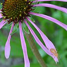 Orange bug on Purple Coneflower by Paula Betz