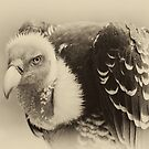Rueppell&#x27;s Vulture: After a shower by Lenka