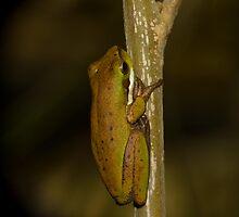 Eastern dwarf tree frog Peregian Beach by harper white