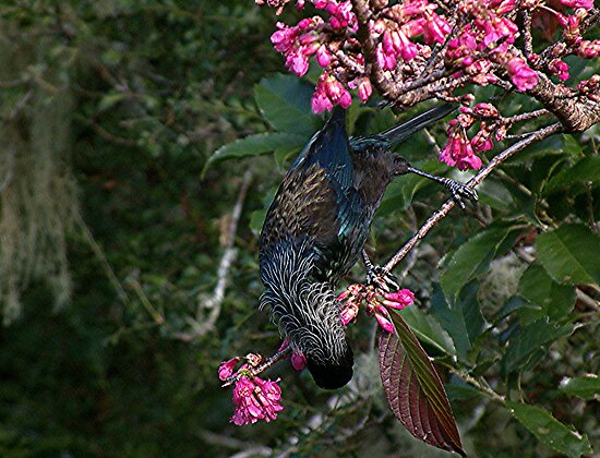 Tui, do you like my new streaky hairdo........? by Roy  Massicks