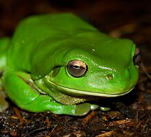 Green tree frog South East Queensland by harper white