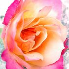 A Rose by Barbara Anderson
