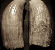 Sperm whale teeth Fiji origin relic by harper white
