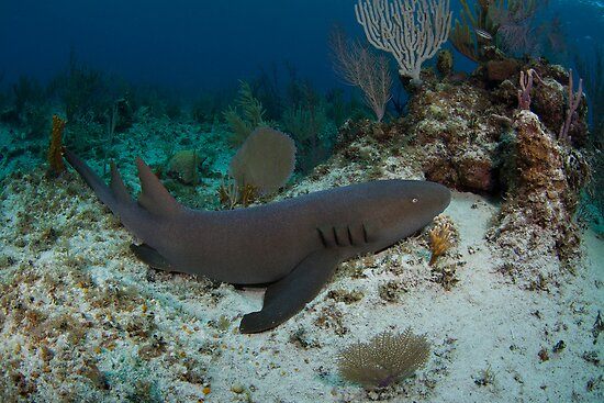 Nurse Shark by Todd Krebs