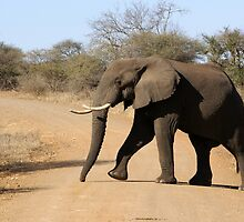 I Own This Road - Kruger National Park by eyedocbrian