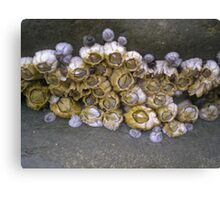 barnacles Canvas Print
