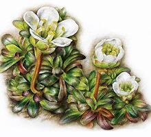 Diapensia lapponica by Sarah Trett