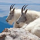 Mountain Goats by Valentina Gatewood