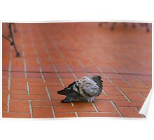 Fat Pigeon Poster