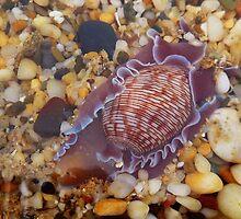 'Sea Snail' by debsphotos