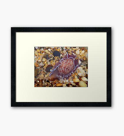 'Sea Snail' Framed Print