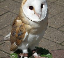 Barn Owl by Stephen Willmer