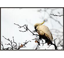 pretty cocky Photographic Print