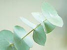 Eucalyptus by Anne Staub