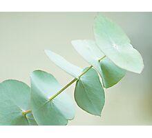 Eucalyptus Photographic Print