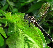 Dragonfly Again by carolinagirl10