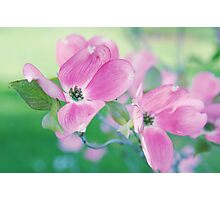 Dogwood Blossoms Photographic Print
