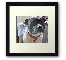 Headshot of a Staffordshire Bull Terrier Framed Print