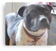 Headshot of a Staffordshire Bull Terrier Metal Print