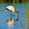 Wood Stork in Golden Light by Joe Jennelle