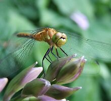 Perched On A Hosta Bud, The World Is My Playground! by Tracy Faught