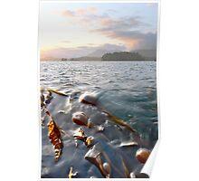 Bull Kelp, Tofino Poster